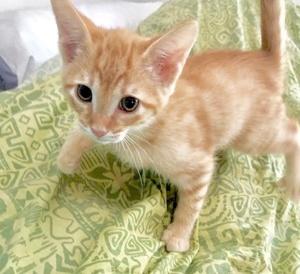 [picture of Bear Cub, a Domestic Short Hair orange\ cat]