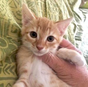 [picture of Little Oscar, a Domestic Short Hair orange/white\ cat]
