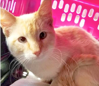 [picture of Hua, a Siamese flame point\ cat]
