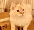 A picture of #ET03951: Hialeah a Ragdoll Mix flame point