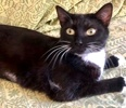 A picture of #ET03952: Poppyseed a Domestic Short Hair black/white