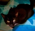 [picture of Poppyseed, a Domestic Short Hair black/white cat]