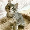 A picture of #ET03953: Flufkins a Maine Coon-x silver