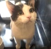 A picture of #ET03954: Vaca a Domestic Medium Hair white/black