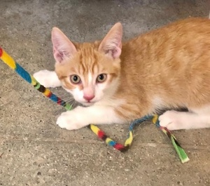 [another picture of Cherry Garcia, a Domestic Short Hair orange/white\ cat]