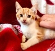 [picture of Cherry Garcia, a Domestic Short Hair orange/white cat]