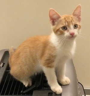 [picture of Cherry Garcia, a Domestic Short Hair orange/white\ cat]
