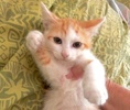A picture of #ET03956: Strawberry Shortcake a Domestic Short Hair orange/white