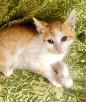 [another picture of Strawberry Shortcake, a Domestic Short Hair orange/white\ cat]