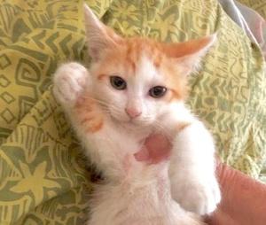 [picture of Strawberry Shortcake, a Domestic Short Hair orange/white cat]