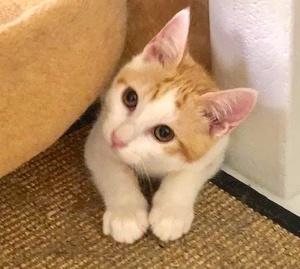 [picture of Strawberry Shortcake, a Domestic Short Hair orange/white\ cat]