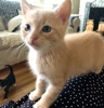 A picture of #ET03958: Chive a Domestic Short Hair cream