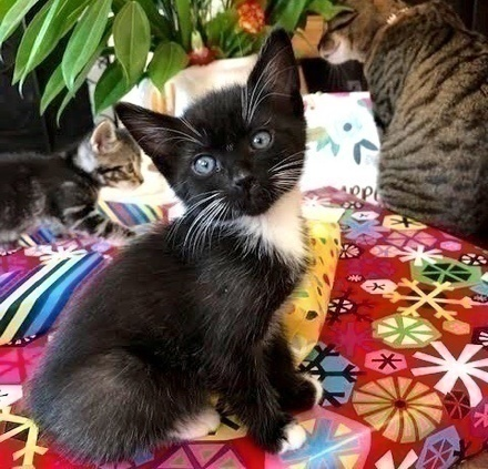 [picture of Wasabi, a Domestic Short Hair black/white\ cat]
