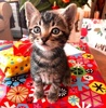 A picture of #ET03960: Habanero a Domestic Short Hair gray tabby