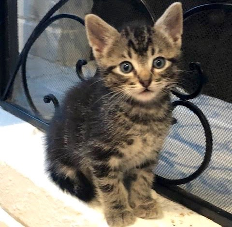 [picture of Fennel, a Domestic Short Hair black tabby\ cat]
