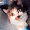 A picture of #ET03962: Maddison a Domestic Short Hair calico