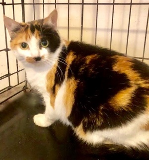 [another picture of Maddison, a Domestic Short Hair calico\ cat]