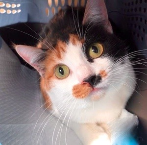 [picture of Maddison, a Domestic Short Hair calico\ cat]