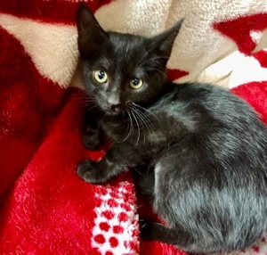 [picture of Galactica, a Domestic Short Hair black cat]