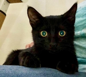 [picture of Galactica, a Domestic Short Hair black\ cat]