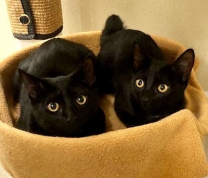 [another picture of Venus, a Domestic Short Hair black\ cat]