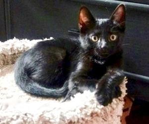 [picture of Venus, a Domestic Short Hair black\ cat]