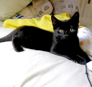 [picture of Einie, a Domestic Short Hair black\ cat]