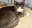 A picture of #ET03967: Basil a Domestic Short Hair blue/white