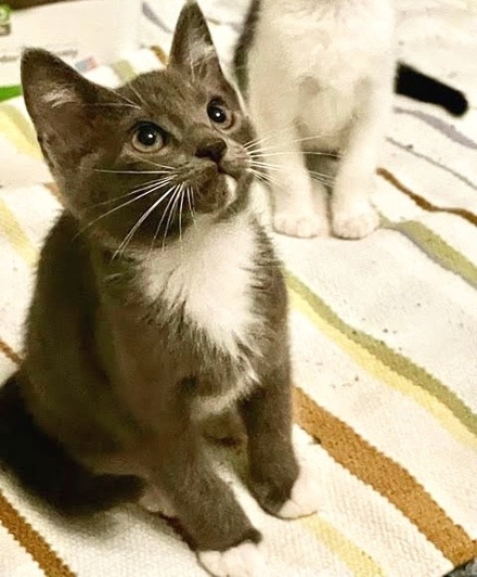 [picture of Stu, a Domestic Medium Hair blue/white\ cat]
