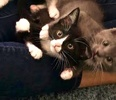 A picture of #ET03971: Aly a Domestic Short Hair black/white