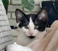 A picture of #ET03972: Mike a Domestic Medium Hair black/white
