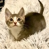 A picture of #ET03974: Carlos a Domestic Short Hair silver/white