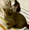 A picture of #ET03975: Jade a Domestic Short Hair blue