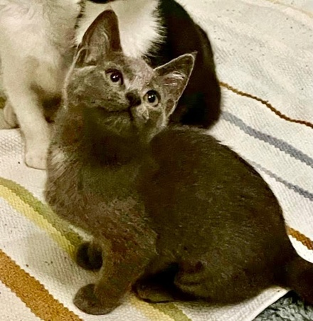 [picture of Jade, a Domestic Short Hair blue\ cat]