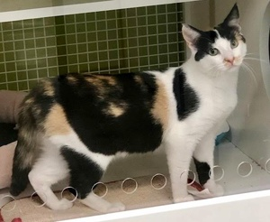 [another picture of Carmen Pepper, a Domestic Short Hair calico\ cat]