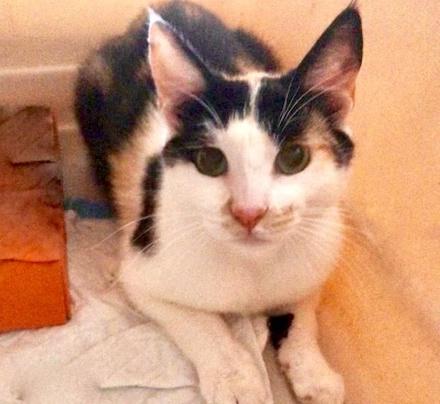 [picture of Carmen Pepper, a Domestic Short Hair calico cat]