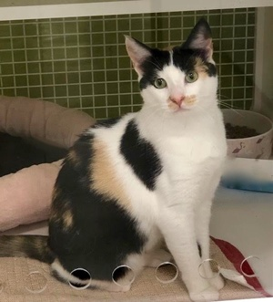 [picture of Carmen Pepper, a Domestic Short Hair calico\ cat]