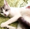 [picture of Little Guero, a Siamese lynx point cat]