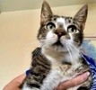A picture of #ET03979: Pepito a Domestic Short Hair white/brown tabby