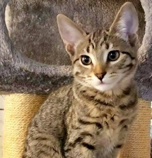 [picture of Shelby, a Domestic Short Hair brown tabby\ cat]