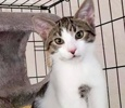 A picture of #ET03981: Sheldon a Domestic Short Hair brown tabby/white