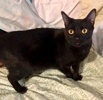 A picture of #ET03982: Lovey a Domestic Short Hair black