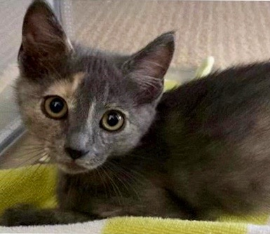 [picture of Liz, a Domestic Short Hair dilute tortie\ cat]