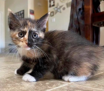 [picture of Vasti, a Domestic Medium Hair calico\ cat]