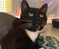 A picture of #ET03985: Papa Bear a Domestic Short Hair black/white
