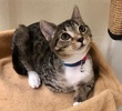 A picture of #ET03987: Bobby Bear a Domestic Short Hair gray tabby/white