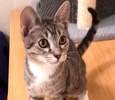 A picture of #ET03988: Billy Bear a Domestic Short Hair gray tabby/white