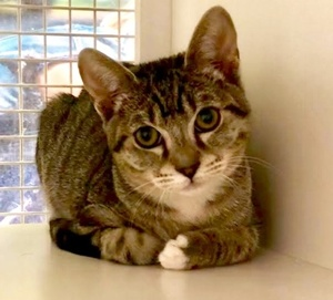 [picture of Billy Bear, a Domestic Short Hair gray tabby/white\ cat]