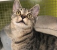 A picture of #ET03989: Bucky Bear a Domestic Short Hair gray spotted tabby