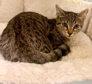 [another picture of Bucky Bear, a Domestic Short Hair gray spotted tabby\ cat]